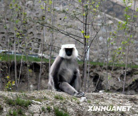 一级保护动物 西藏