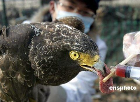 珍稀蛇雕在浙江一野生动物救助站获救治