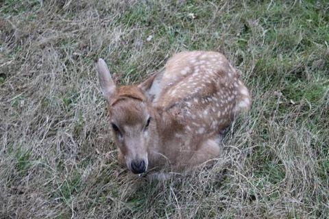 东洞庭湖:刚出生的野生麋鹿幼仔喜获救护