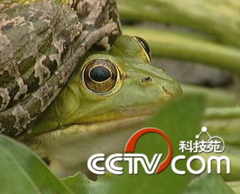 幼蛙变成青蛙要多久_蝌蚪变幼蛙后需要喂食吗_蝌蚪变幼蛙食量